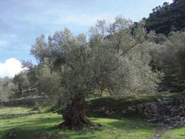 L'ulivo (olea europaea)